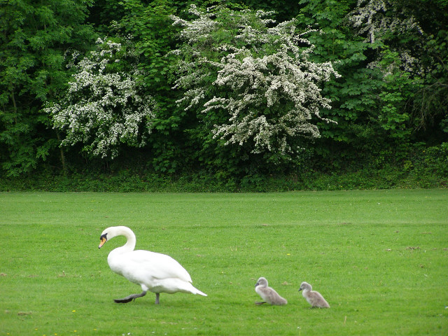 Swan and cygnets close to the Itchen Navigation, Winchester