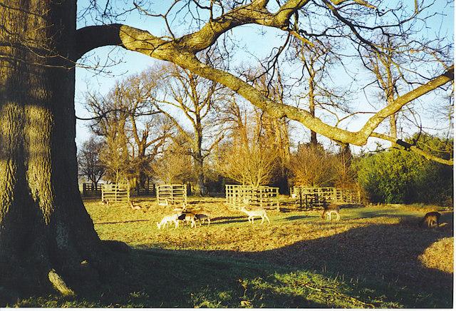 Deer in Petworth Park.