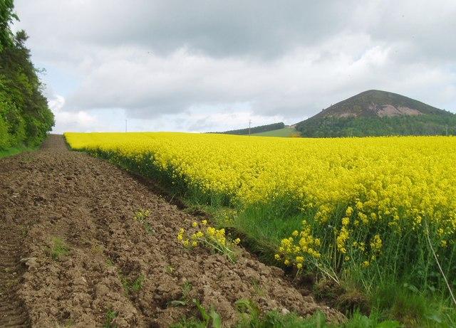 Field of rape near Bowden