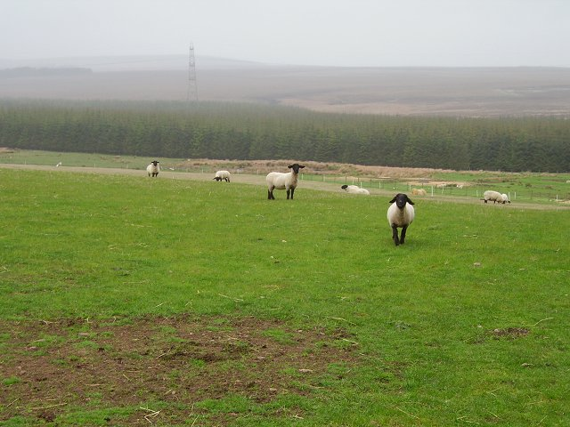 Sheep by Dere Street.