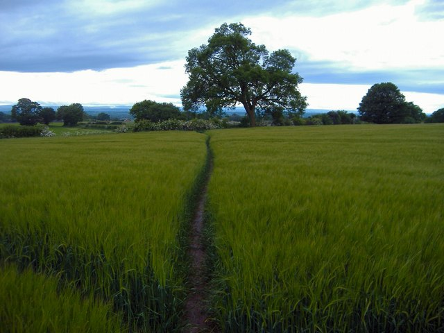 Alvanley - path through barley.