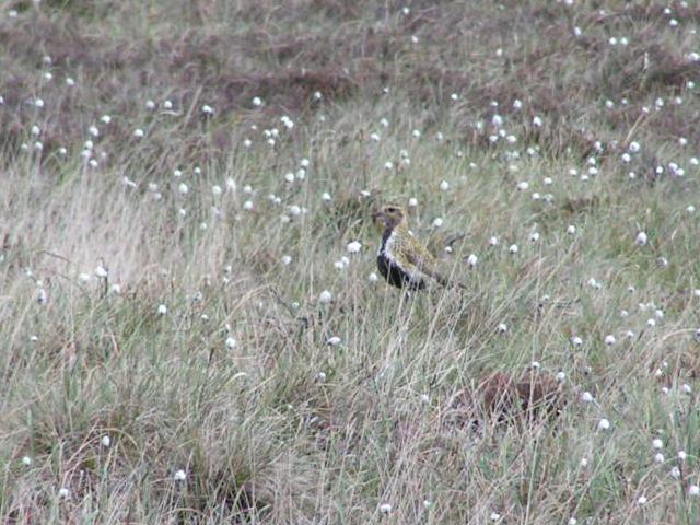 Golden Plover, Danebower Hollow