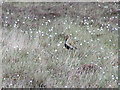 SK0070 : Golden Plover, Danebower Hollow by Dave Dunford