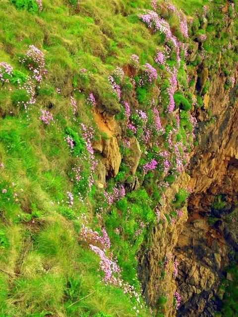 Sea pink on cliffs at Slains Castle