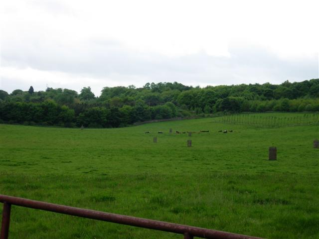Cattle in a field on Lord Lambton's Estate