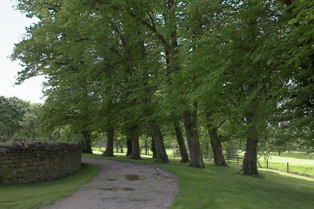 Lime trees near Castle Howard