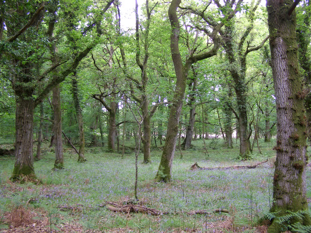 Oak trees in Franchises Wood