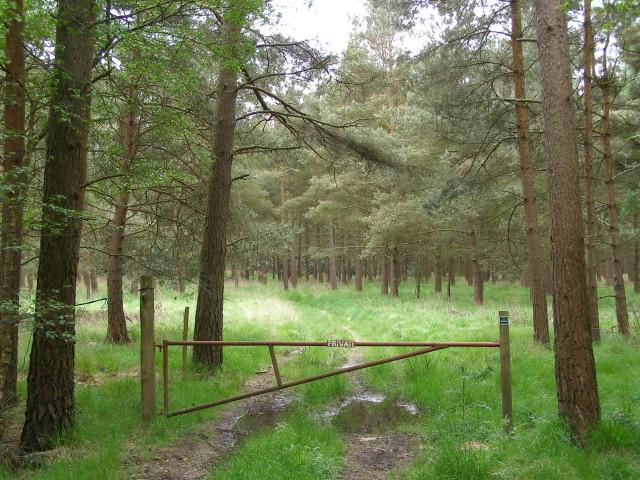 Pine plantation on Horse Common