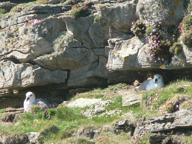 Fulmars nesting, Papa Westray