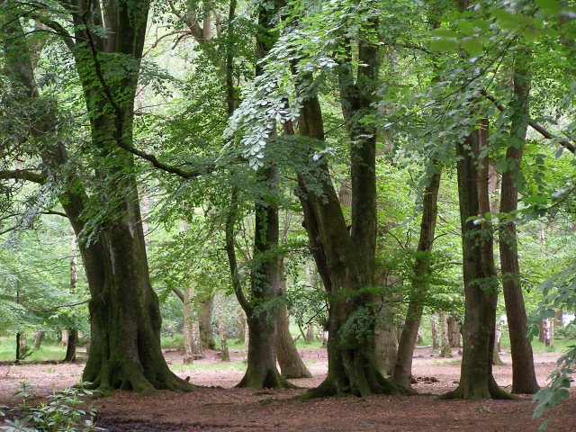 Sweet chestnut trees in shade