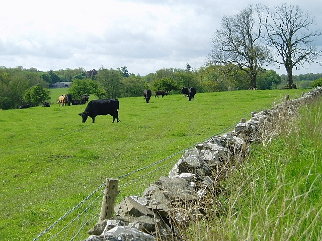 Cattle grazing near Lilliesleaf