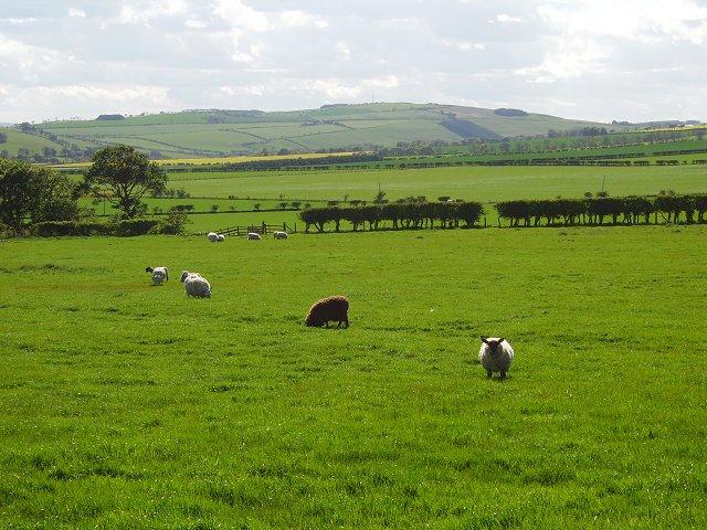 Sheep, Cairncross