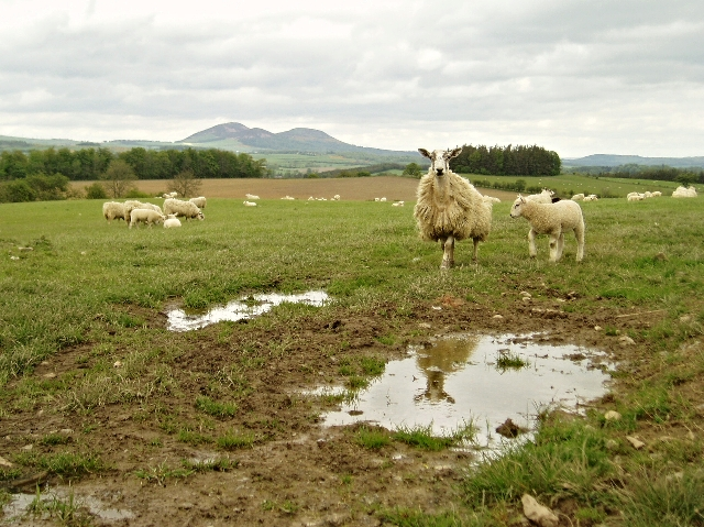 A Sheep Reflects on Life