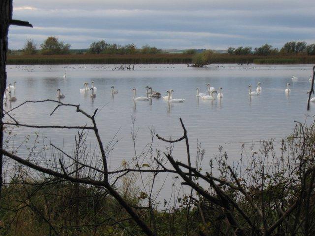 Swans on Spynie Loch, Morayshire.