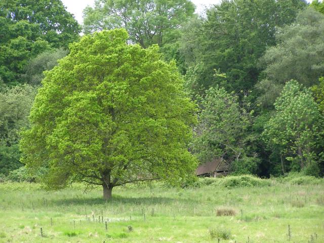 Oak tree in a Pimlico field