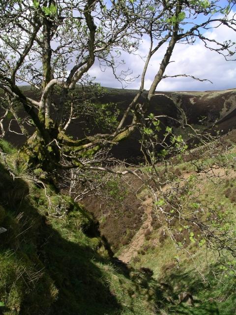 Rowan tree, Gill Cleugh
