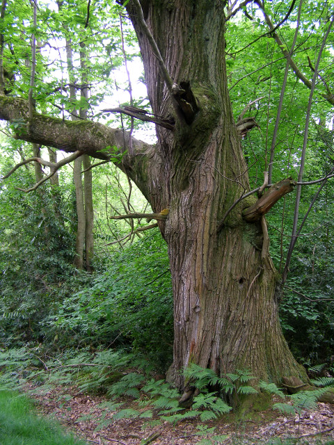 Large sweet chestnut tree in the Quar Hill Plantation