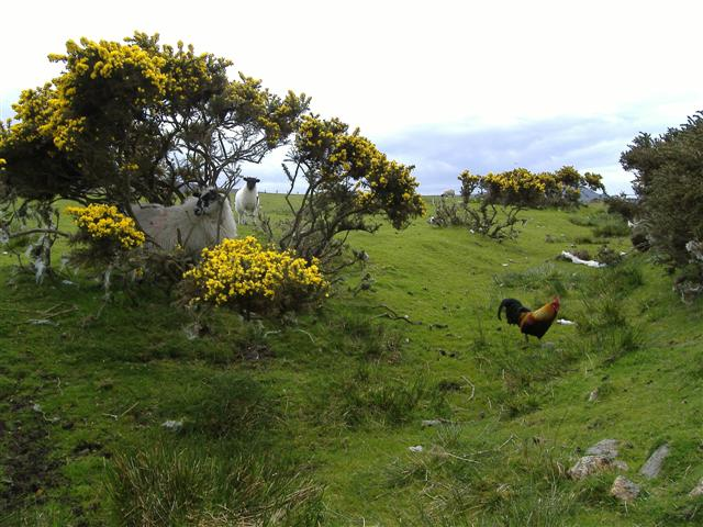 Sheep, gorse and cockerel