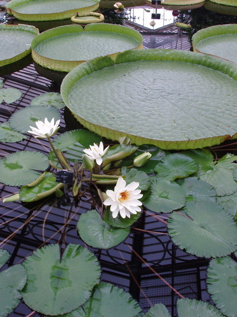 Water lilies at Kew Gardens