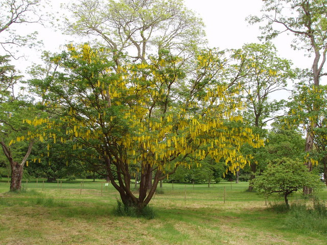 Laburnum, Kew Gardens
