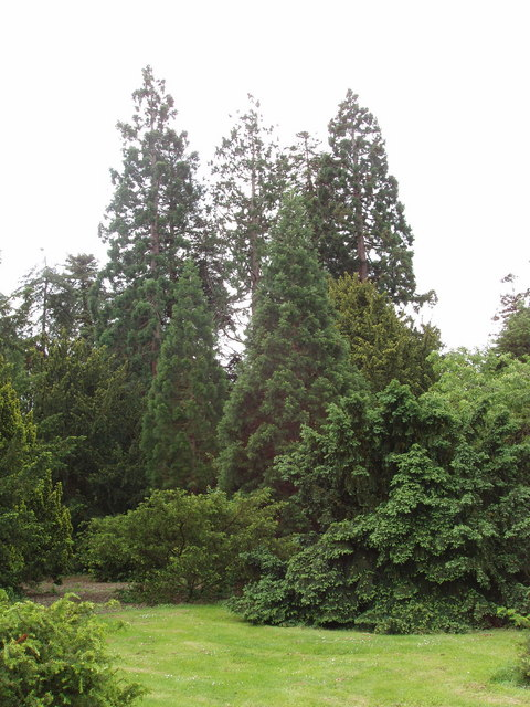 Redwoods and other conifers, Kew Gardens