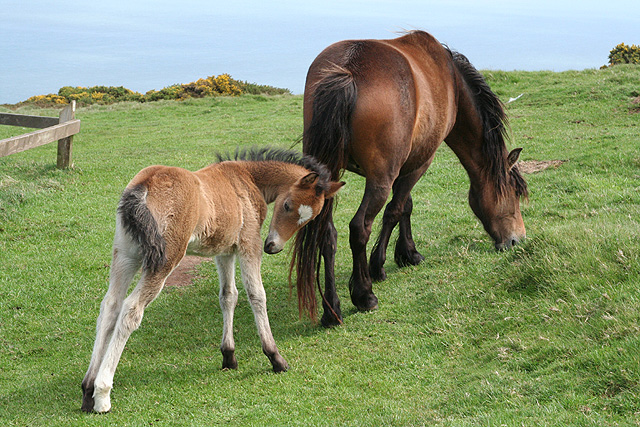 Countisbury: Exmoor mare and foal