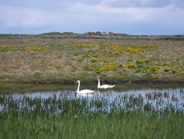 Swans at Bride's Ness