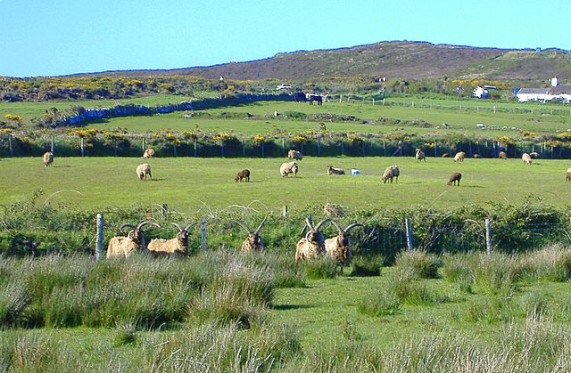 Loghtan sheep at Cregneash, Isle of Man
