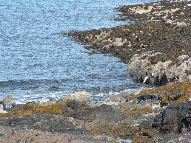 Oystercatchers, one in flight