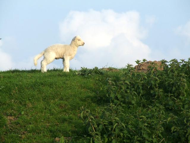 Lamb on the embankment