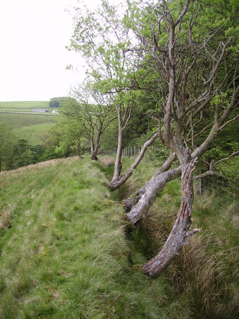 Old Hedge Line