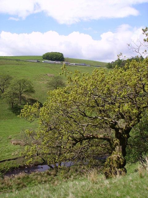 Gnarled oak, Dob Dale Beck