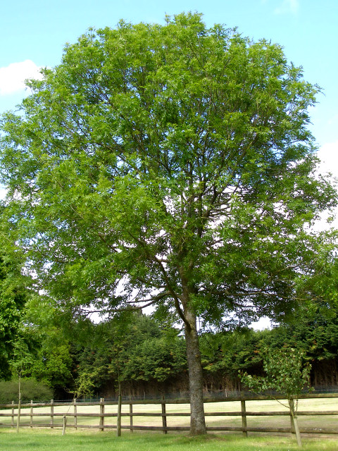Ash tree in the overflow car park at Buckler's Hard