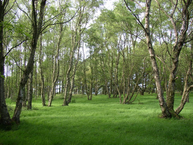 Birches, Chevin Country Park, Otley