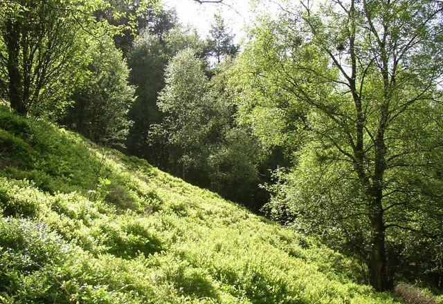 Bilberry glade, Chevin Country Park, Otley