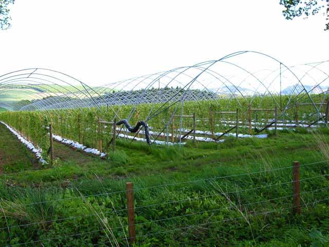 Raspberry cultivation, Colbeggie Farm near Ardler