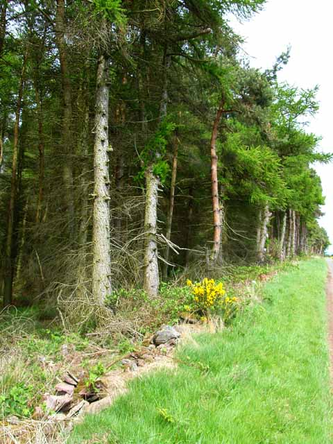 Roadside plantation at Hill of Baldowrie