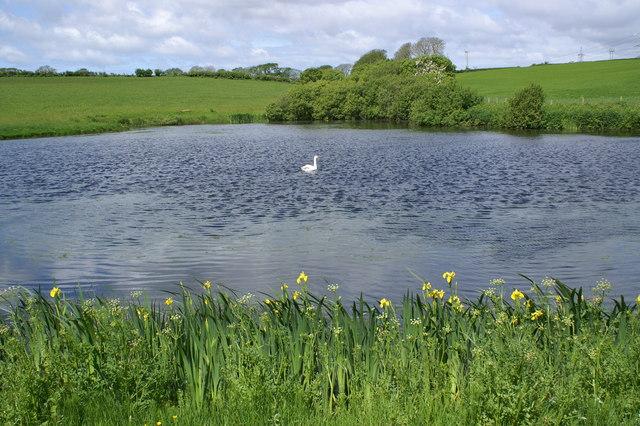 Irises and Swan