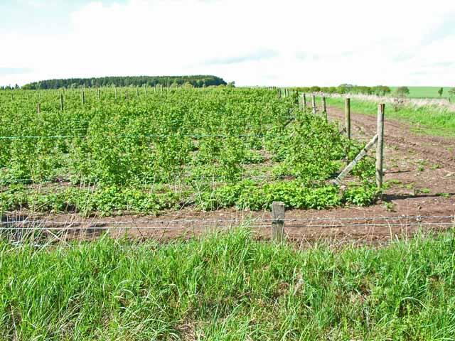 Raspberry field near Ruthven