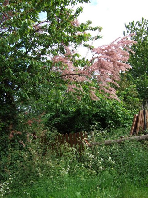 Pink Tree at Gillhams