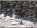 HY7652 : Ground nesting fulmar by Lis Burke
