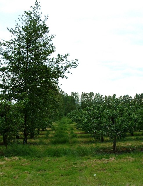 Orchards near Wisbech