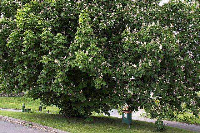 Horse Chestnut tree - Cropton