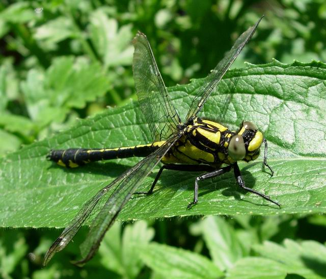 Club-tailed Dragonfly (Gomphus vulgatissimus)