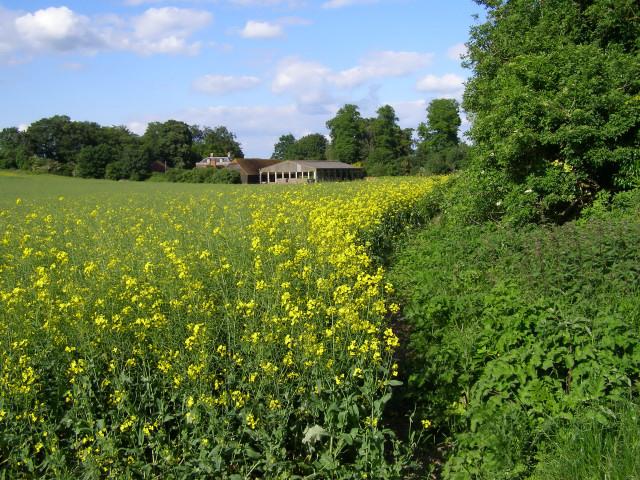 Rape field west of Charlton Manor Farm