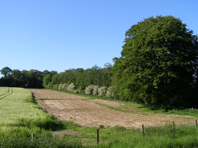 Barley field's edge, near Down Barn
