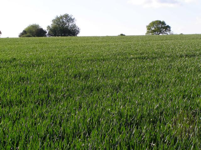 Wheat field south of Yews Farm