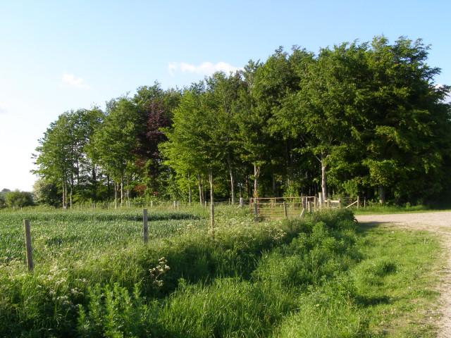 Small plantation south of Yews Farm