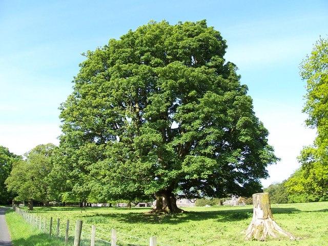 Tree at Ardgowan House