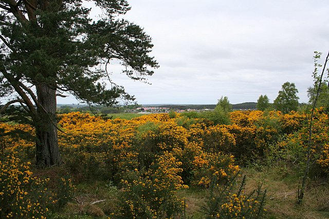 Looking over the Gorse to Lhanbryde.